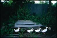 http://nikstrangelove.com/files/gimgs/th-52_DucksWalking_v2.jpg